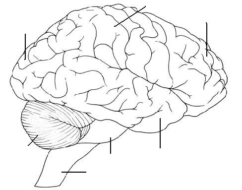 Nervous system terms to know part 2 color or label the brain structures on the diagram ccuart Image collections