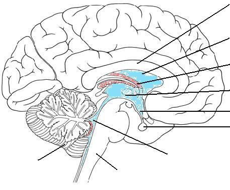 Exelent diagram of brain with labels ensign anatomy and physiology nervous system terms to know part 2 ccuart Images