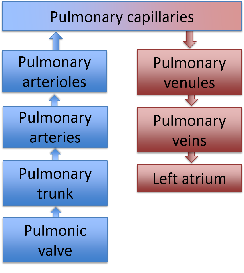 Multiple pages path of blood flow what comes next in the flow chart geenschuldenfo Images