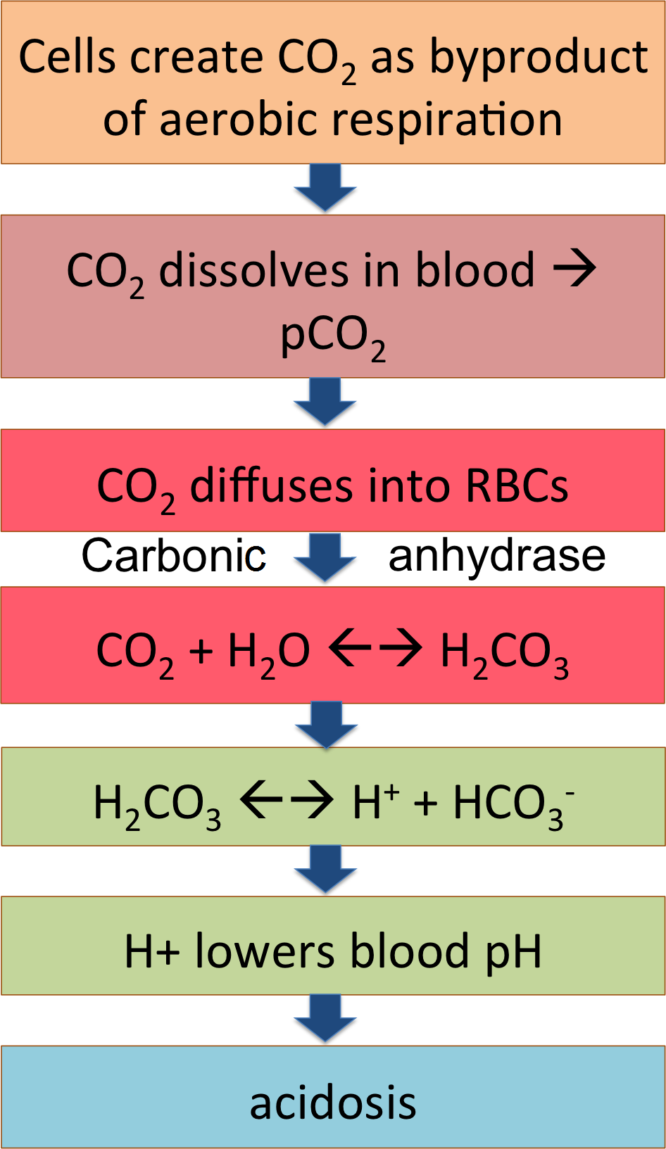 Multiple pages co2 the flow chart summarizes this pathway co2 from the cells becoming carbonic acid in the blood and dissociating to release h lowering blood ph nvjuhfo Image collections